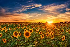 Photo Sunflowers Sunrises and sunsets Sky Fields Sun flower Nature