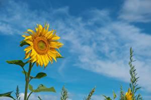 Bakgrunnsbilder Solsikkeslekten Gul Blomster