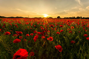 Wallpaper Sunrises and sunsets Poppies Fields Sun