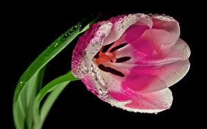 Photo Tulip Closeup Drops Pink color Black background flower
