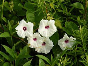 Bilder Bindekraut Weiß Blumen