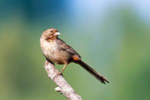 Hintergrundbilder Vögel Ast Unscharfer Hintergrund California Towhee Tiere