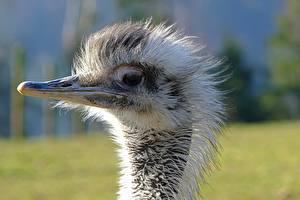 Fotos Vögel Großansicht Strauß Kopf Schnabel Unscharfer Hintergrund ein Tier