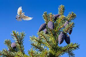 Photo Birds Pigeon Branches Flight Conifer cone Animals
