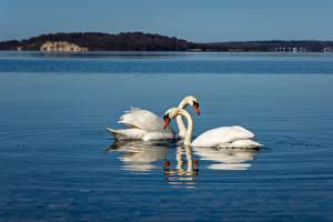 Bilder Vogel Schwan Weiß Zwei ein Tier