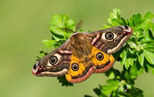 Bilder Schmetterling Hautnah Small emperor moth ein Tier