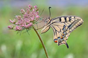 Fotos Schmetterlinge Insekten Großansicht machaon Tiere