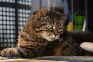 Fotos Katzen Blick Schnauze Tiere