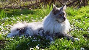 Bilder Katze Maine Coon Gras Liegen Flaumig ein Tier