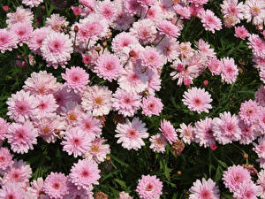 Pictures Chrysanthemums Many Pink color Flowers
