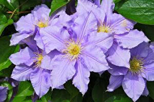Bilder Waldreben Nahaufnahme Violett Blüte