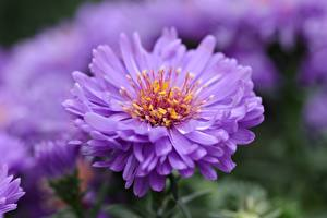 Hintergrundbilder Großansicht Astern Bokeh Violett Blumen