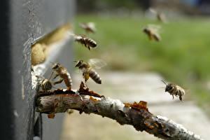 Картинка Вблизи Пчелы Насекомые Боке Летит животное