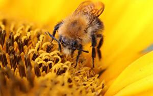 Bilder Nahaufnahme Bienen Insekten Unscharfer Hintergrund Pollen Tiere