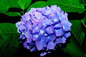 Images Closeup Hydrangea Bokeh Blue