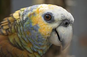 Fotos Großansicht Papageien Augen Kopf Schnabel St Vincent Amazon Parrot Tiere