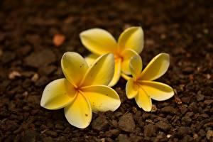 Fotos Hautnah Frangipani Gelb Unscharfer Hintergrund Blüte
