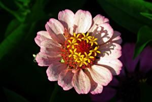 Fotos Großansicht Bokeh Rosa Farbe Zinnia Blüte