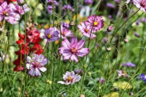Fotos Kosmeen Großansicht Blüte