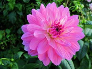 Fotos Dahlien Großansicht Rosa Farbe Bokeh Blumen