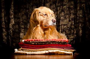 Fondos de escritorio Perros Golden retriever Lentes animales