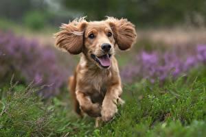 Pictures Dogs Spaniel Run Grass Bokeh animal