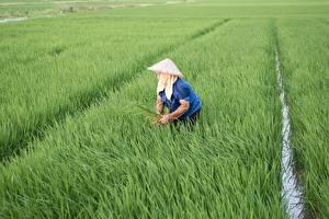デスクトップの壁紙、、畑、米、仕事、帽子、Vietnamese、