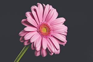 Hintergrundbilder Gerbera Großansicht Grauer Hintergrund Rosa Farbe Blumen