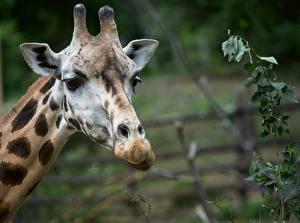 Bureaubladachtergronden Giraffe Hoofd Onscherpe achtergrond Kijkt een dier