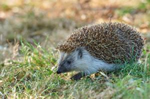Bilder Igel Großansicht Gras Bokeh ein Tier