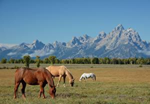 Bilder Pferde Gebirge Grünland USA Drei 3 Gras Wyoming, Grand Teton national Park Natur