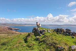 Fondos de escritorio Irlanda Costa Piedras Oveja Ovis orientalis aries Naturaleza Animalia