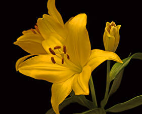 Photo Lilies Closeup Black background Yellow Flowers