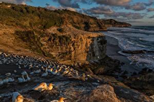 Bilder Neuseeland Küste Vogel Felsen Muriwai Beach, Cape gannet Natur