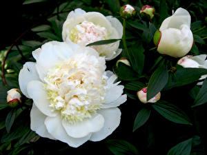 Hintergrundbilder Pfingstrosen Hautnah Weiß Blütenknospe Blumen