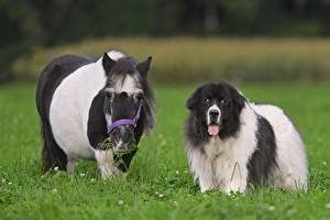 Picture Pony Dogs Grass landseer Animals