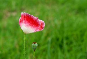 Pictures Poppies Closeup Blurred background Flower-bud