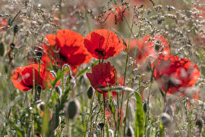 Pictures Poppies Grass flower