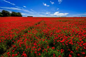 Wallpapers Poppies Summer Fields Flowers