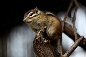 Bilder Nagetiere Backenhörnchen Unscharfer Hintergrund Ast ein Tier