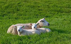 Photo Sheep Cubs Three 3 Staring Laying Grass