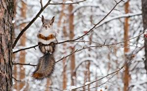 Pictures Squirrels Winter Branches Animals