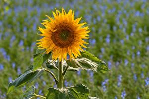 Tapety na pulpit Słoneczniki Z bliska Liście kwiat