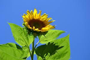 Tapety na pulpit Słoneczniki Z bliska Żółty Liście kwiat