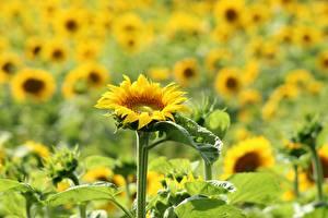 Hintergrundbilder Sonnenblumen Viel Bokeh Gelb Blüte