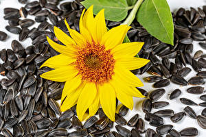 Pictures Sunflowers Sunflower seed Closeup Flowers