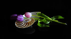 Picture Tulip Black background Three 3 flower