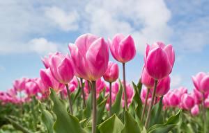 Hintergrundbilder Tulpen Acker Rosa Farbe Blumen