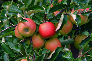 Image Apples Closeup Branches Foliage Food