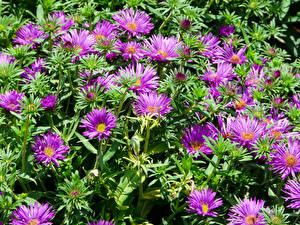 Pictures Asters Many Violet flower